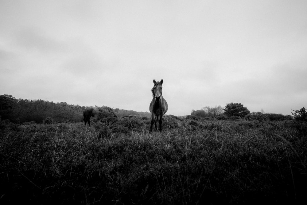 grayscale photography of horse on grass during daytime