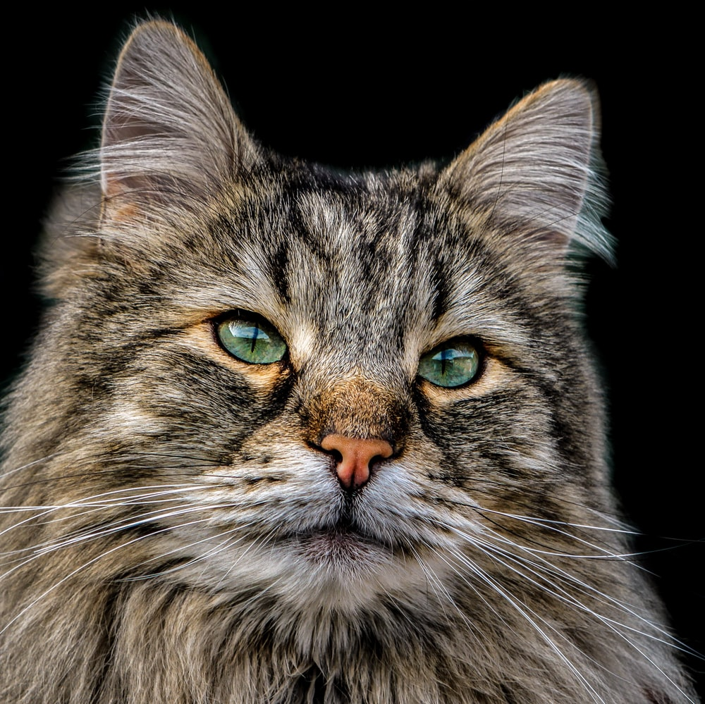 brown and gray cat