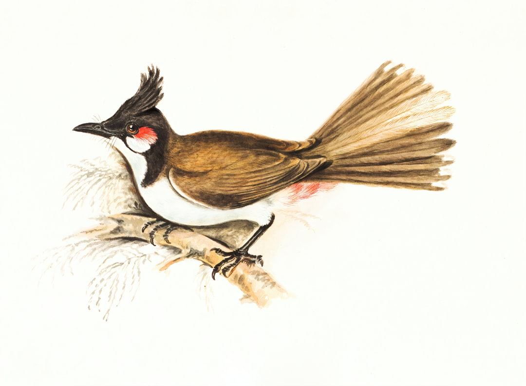 Red-whiskered Bulbul (Pycnonotus jocusus).