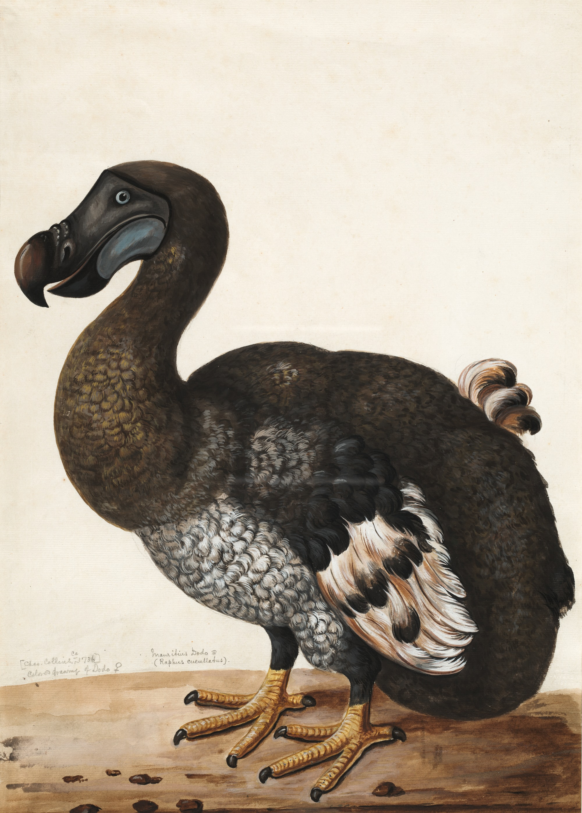 Dodo (Raphus cucullatus) was a flightless bird which became extinct in the late 1600s and was the first bird conclusively destroyed by humans. This illustration was done from a stuffed specimen – note the two left feet and was used by Casey Wood as the frontispiece for his An Introduction to the Literature of Vertebrate Zoology. Dodo (Raphus cucullatus)