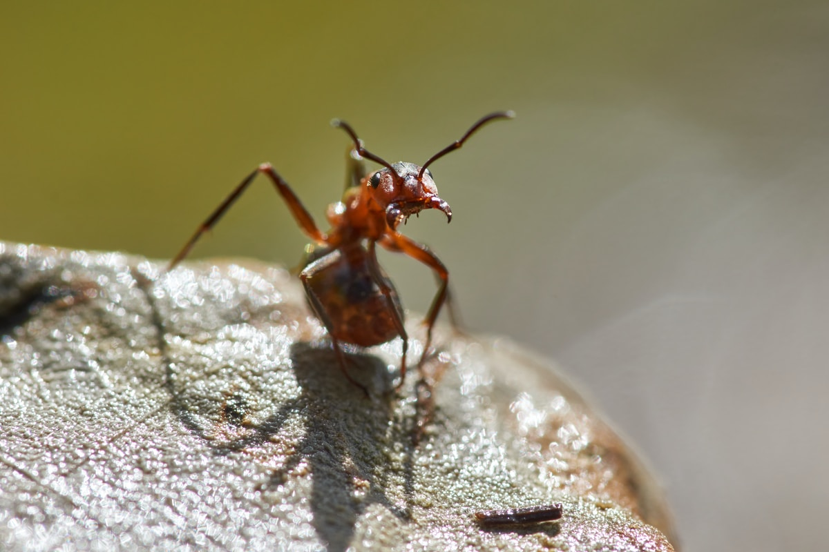 macro photography of red ant on rock during daytime