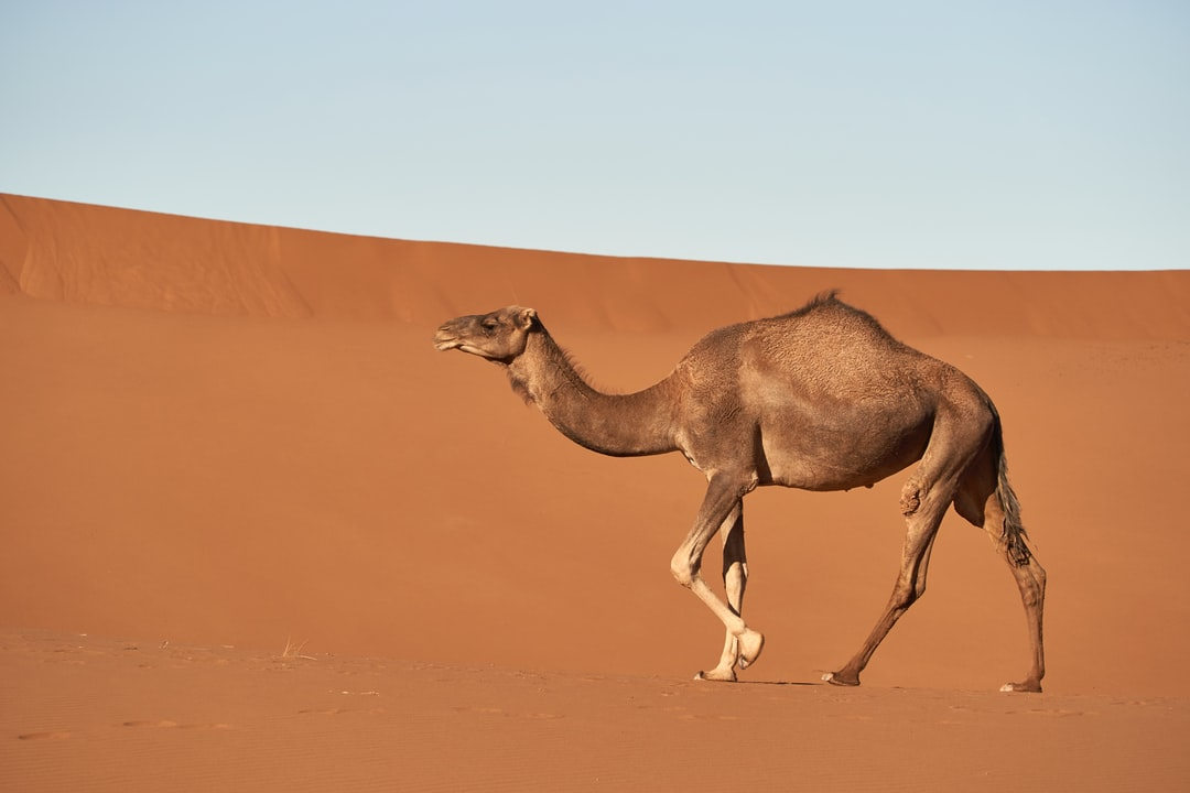 Brown Camel - unsplash