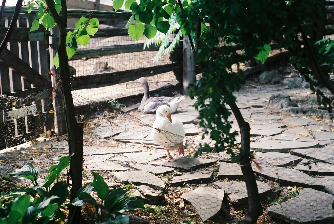 Film Photo of Ducks At Riverdale Farm - unsplash