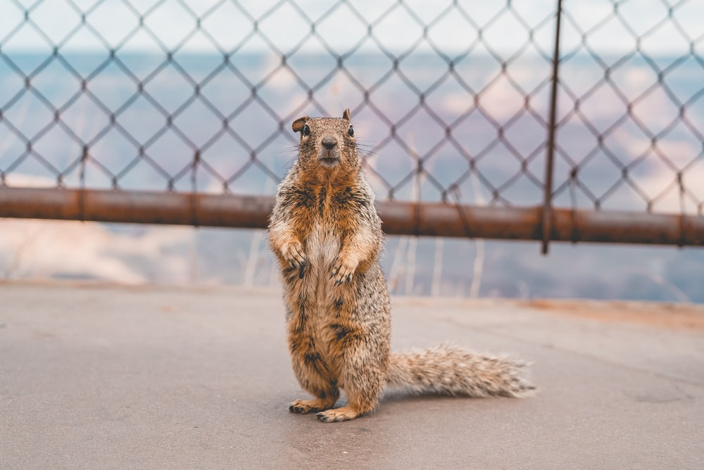 brown squirrel on brown wooden fence during daytime