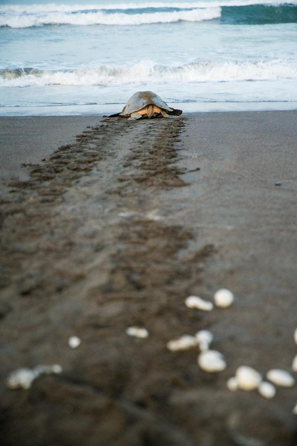 turtle on beach line