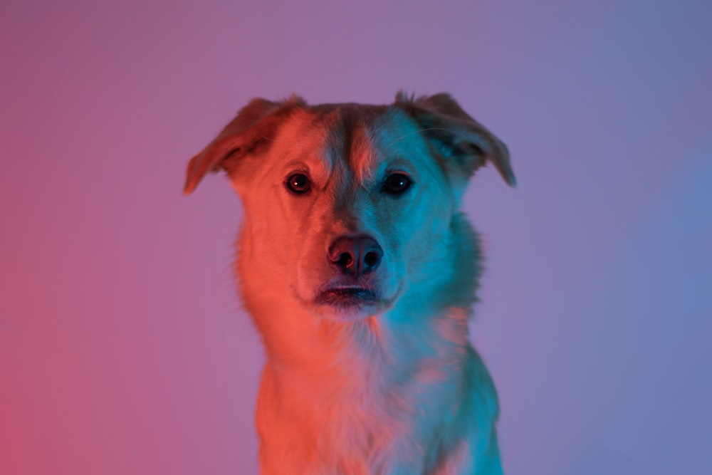 brown short coated dog with pink background