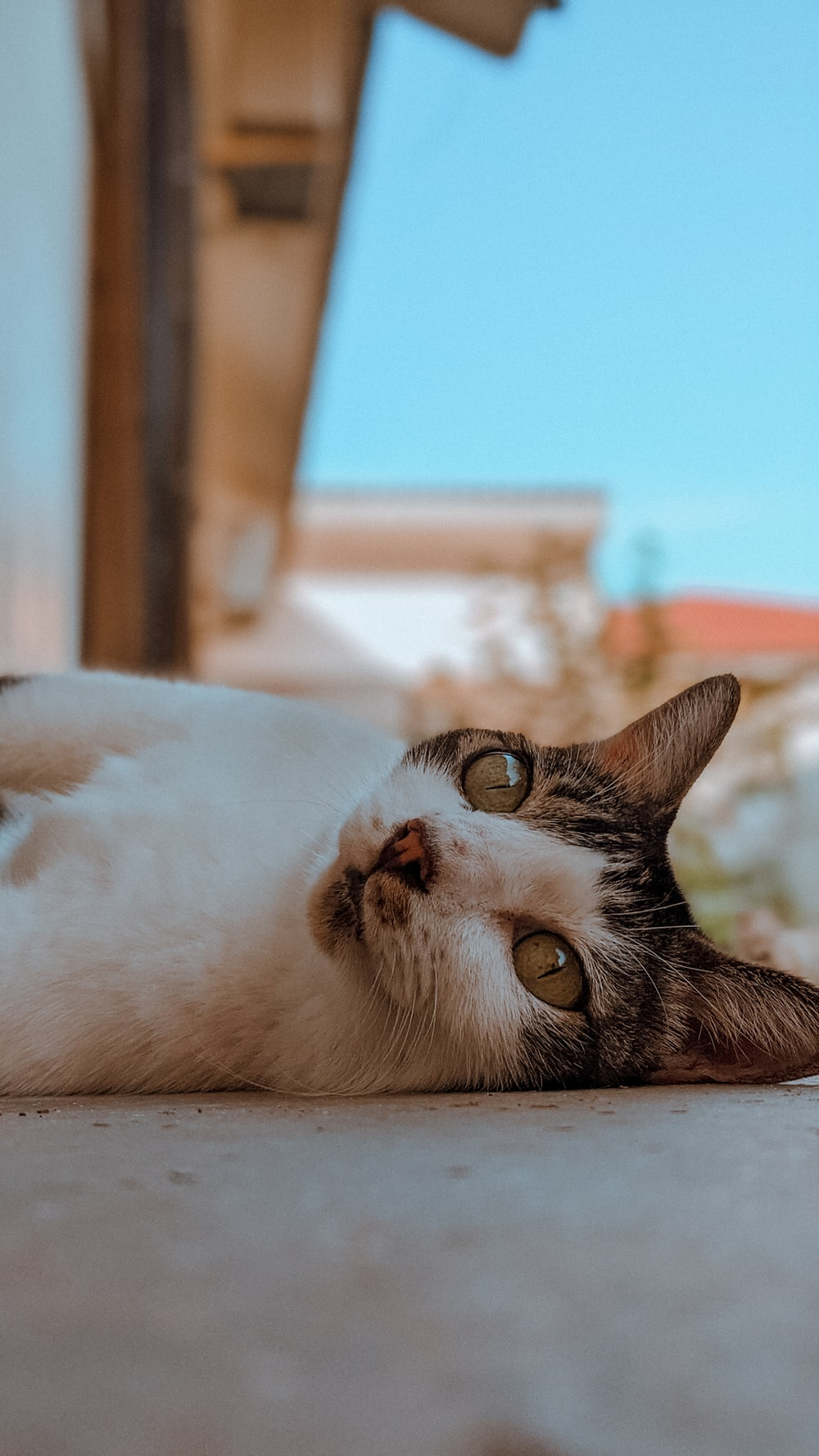 white and brown cat lying on floor