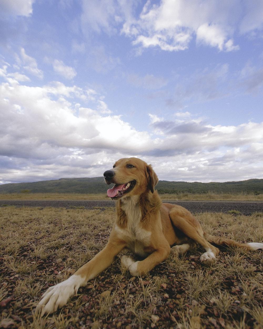 golden retriever lying on brown field under blue sky during daytime