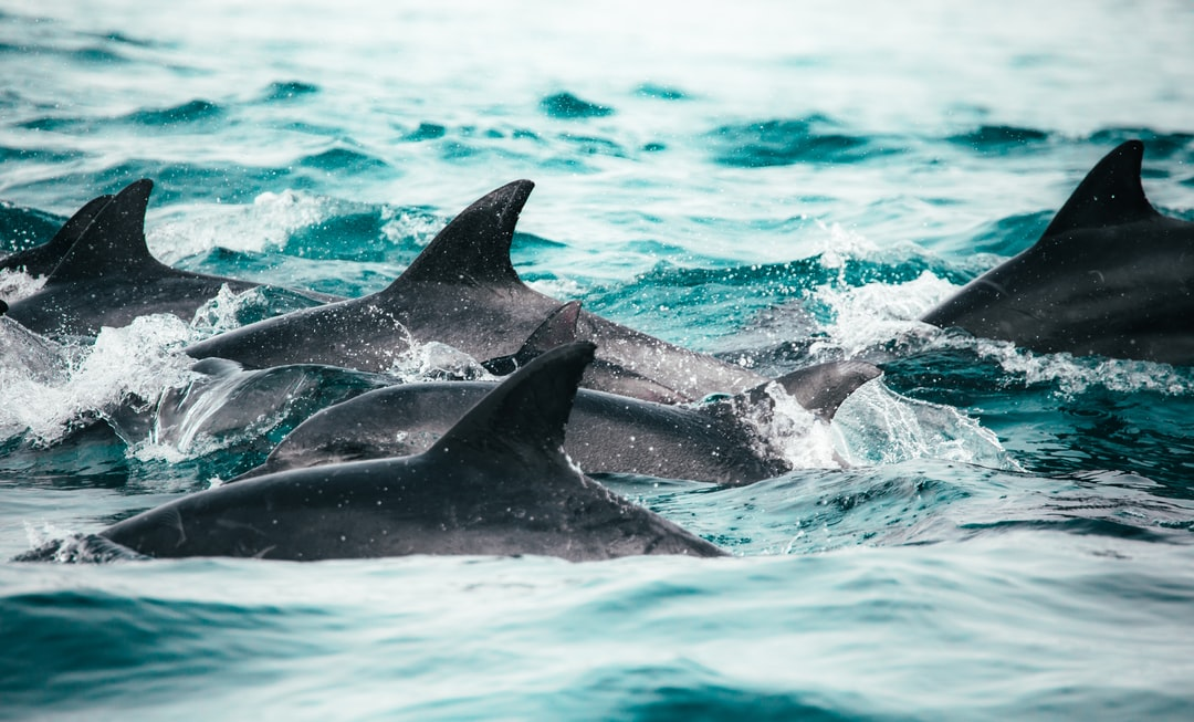Pod of Dolphins Swimming In the Ocean In Knysna, South Africa - unsplash