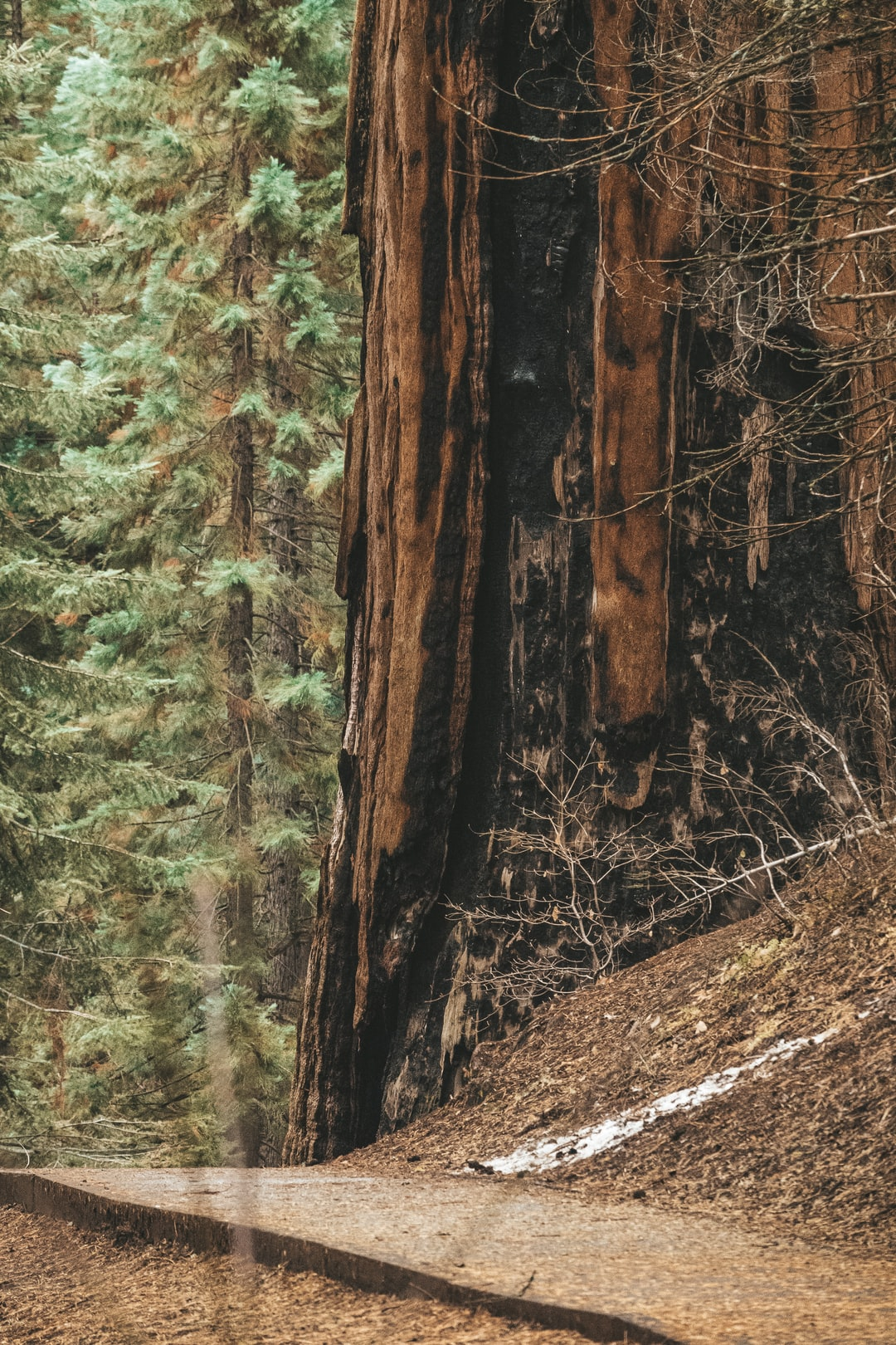 Sequoia Tree   Sequoia & Kings Canyon National Parks, Generals Highway, Three Rivers, California / Kalifornien, USA. 2019 / Winter.
