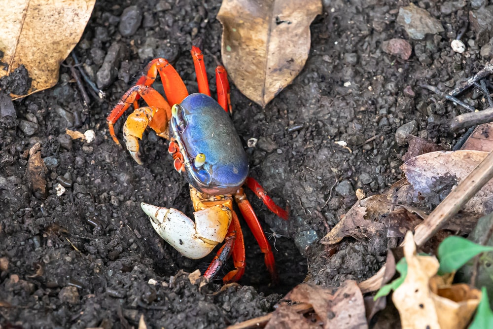 blue and orange crab on black soil