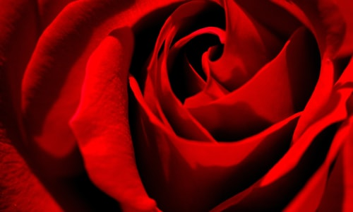 roses red pickup line