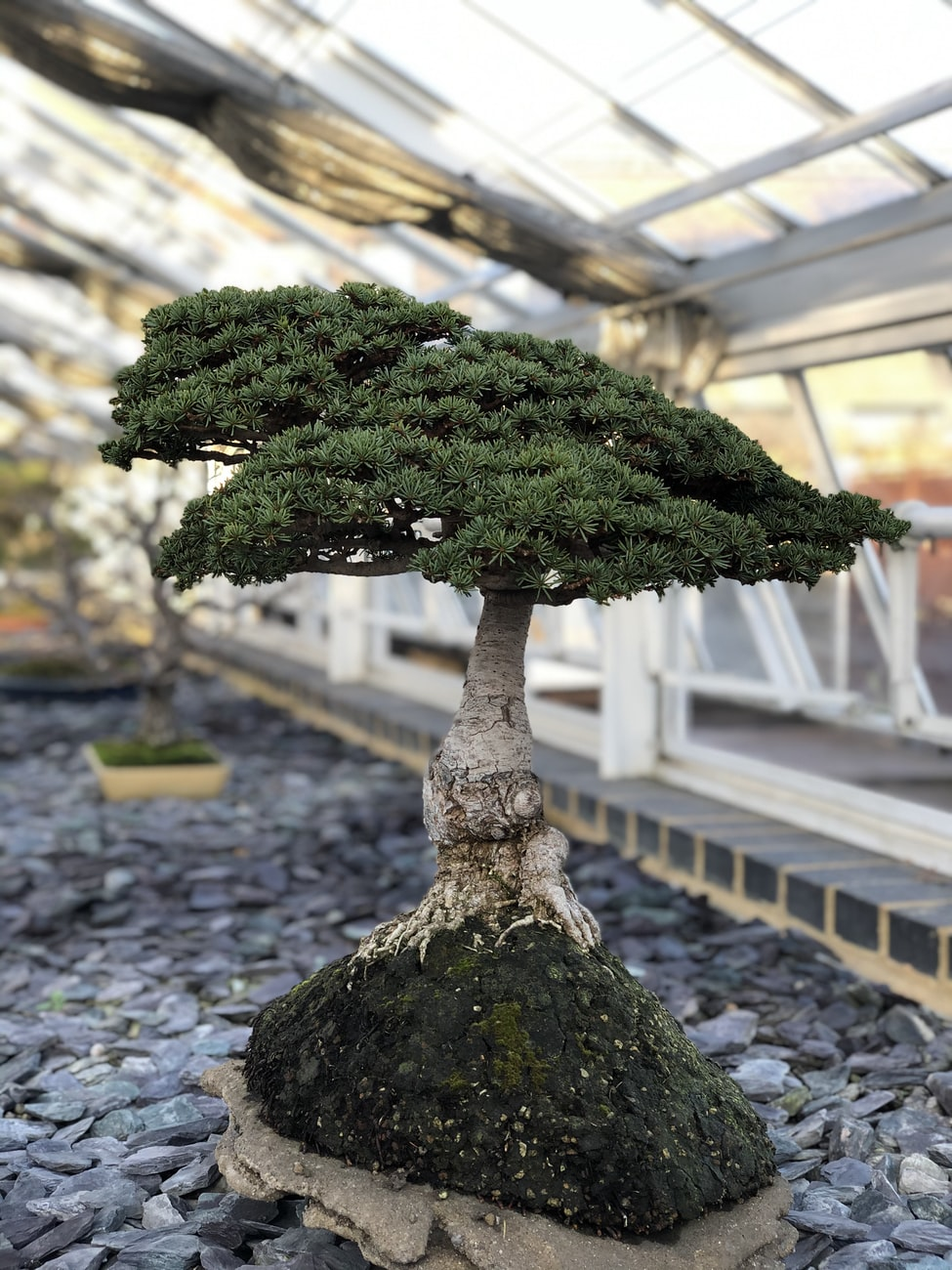 evergreen bonsai tree growing on a rock
