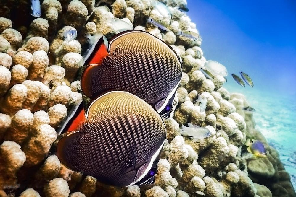 orange and black clown fish