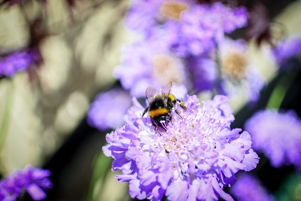 black and yellow bee on purple flower during daytime