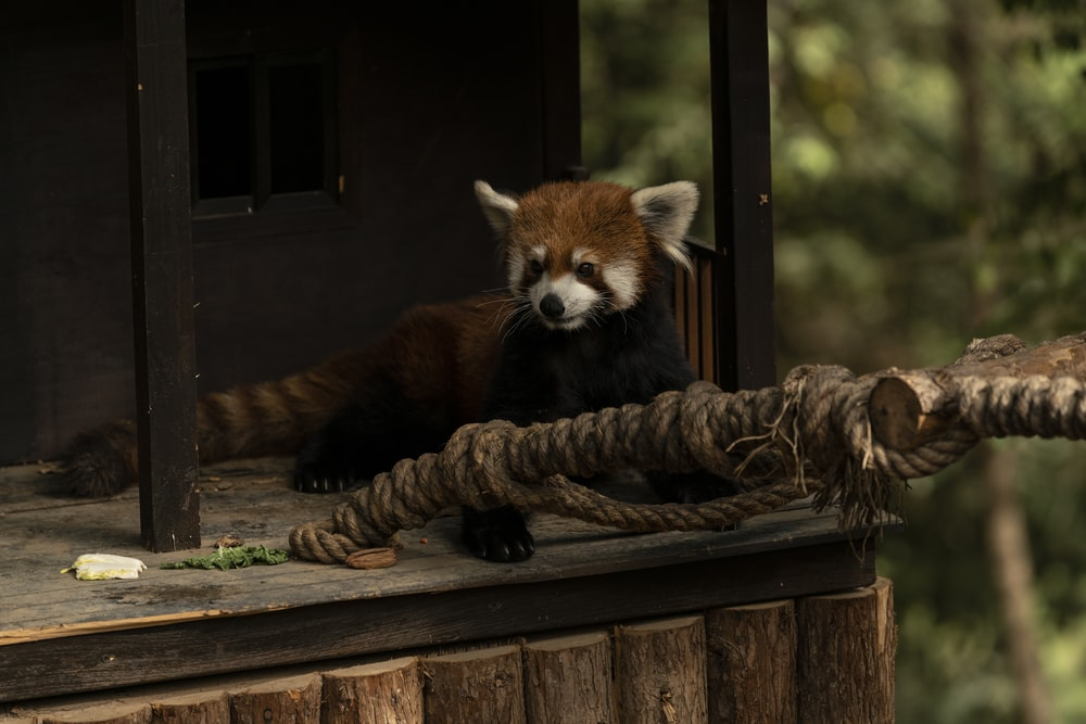 red panda on brown wooden table