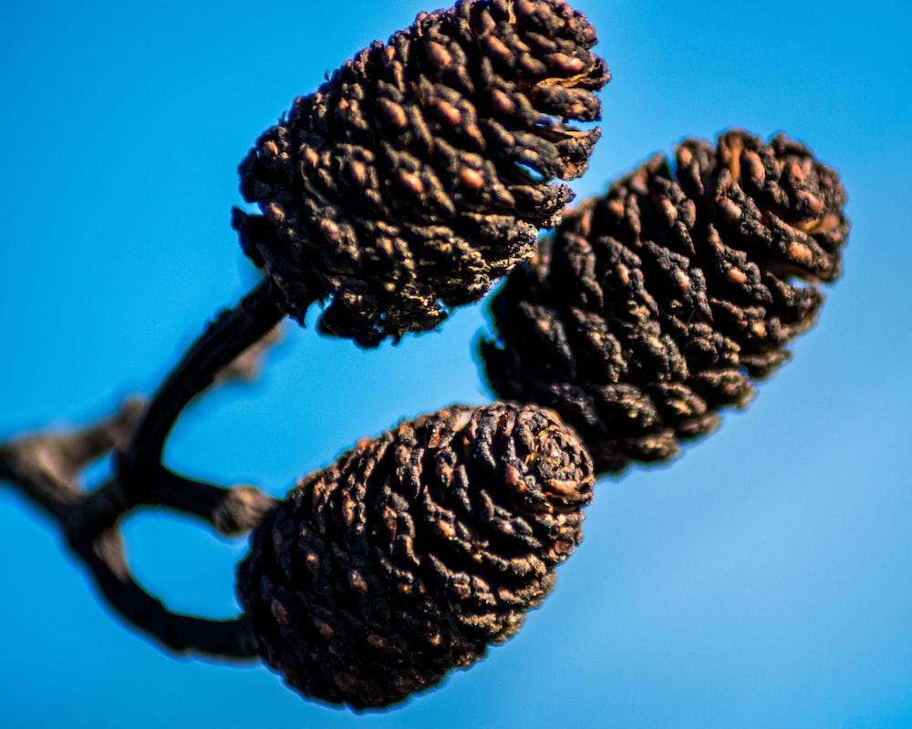 black pine cones on blue background