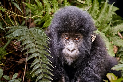 black gorilla on green grass during daytime congo zoom background