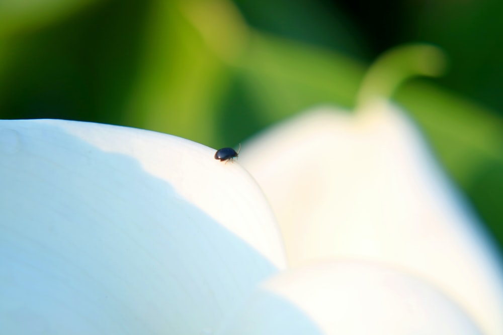 black and brown bug on white flower