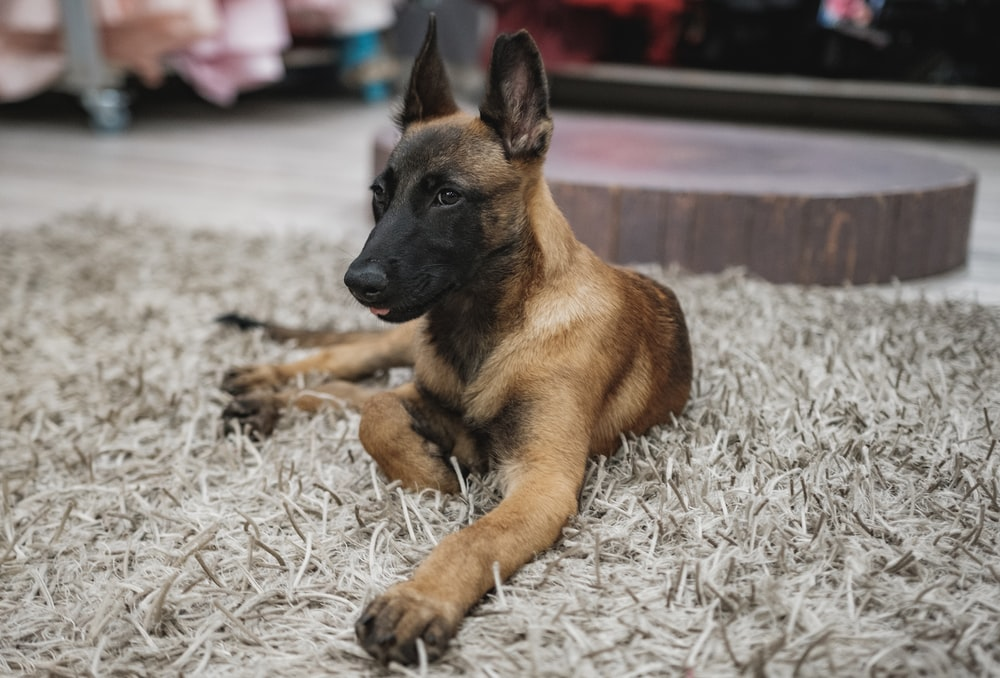 brown and black german shepherd lying on white and gray area rug