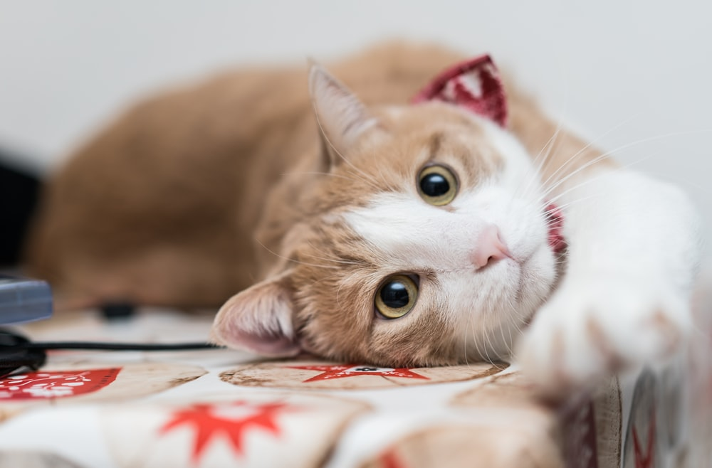 orange tabby cat lying on white and red textile