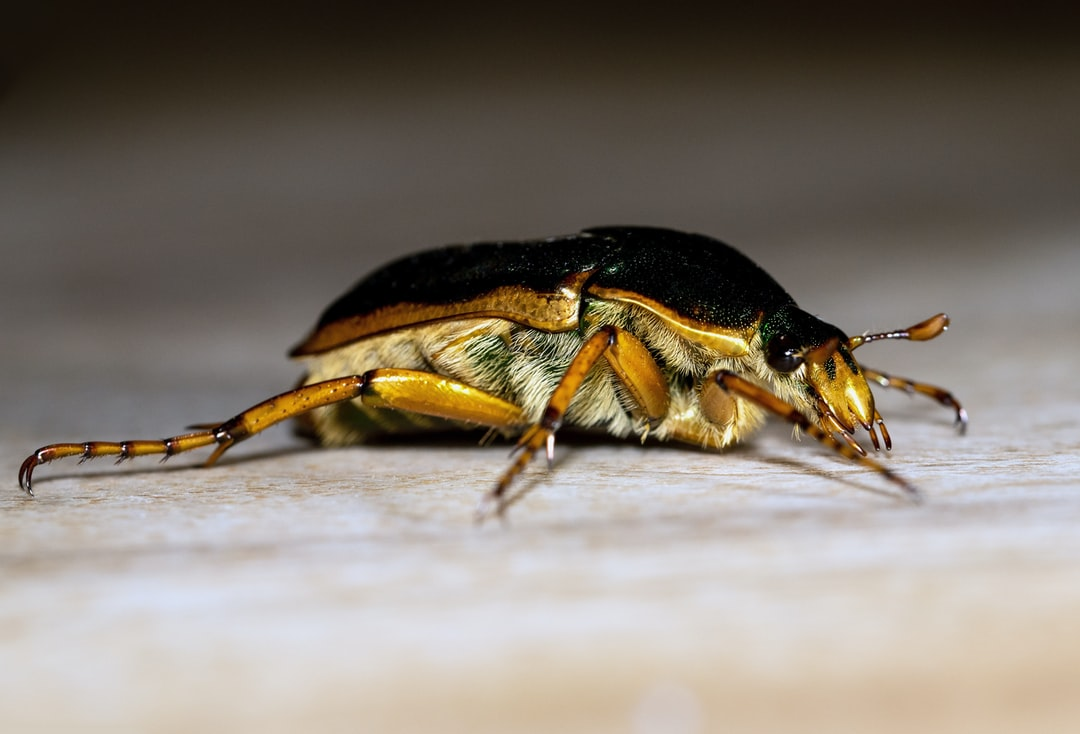A Type of Christmas Beetle Which Decided To Join the Table At An Italian Restaurant In Yungaburra, Australia. - unsplash