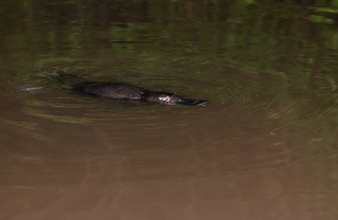 A platypus photographed in semi-darkness in the evening with low-powered flash. This photo was taken at a popular spot to look for platypus in Yungaburra, so they are used to people. There had just been a tropical thunderstorm with lots of lightning so I was not worried about using flash, and the platypus seemed unperturbed by me or the camera. Unfortunately the photo is noisy, but with platypus, you count yourself lucky just to see one, never mind photograph it.