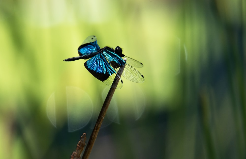 blue and black dragonfly perched on brown stick in close up photography during daytime