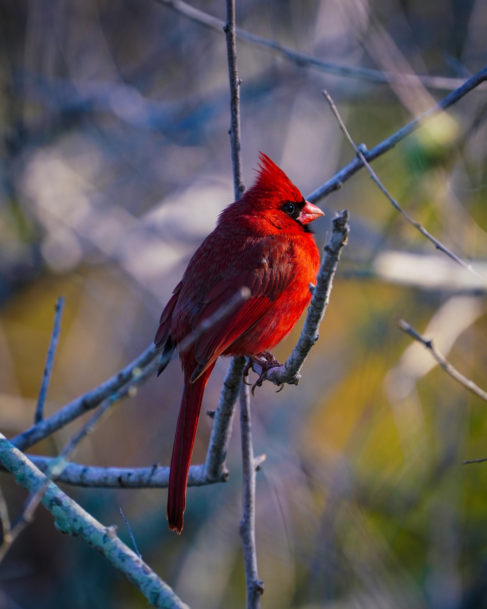 red cardinal bird on gray metal wire during daytime