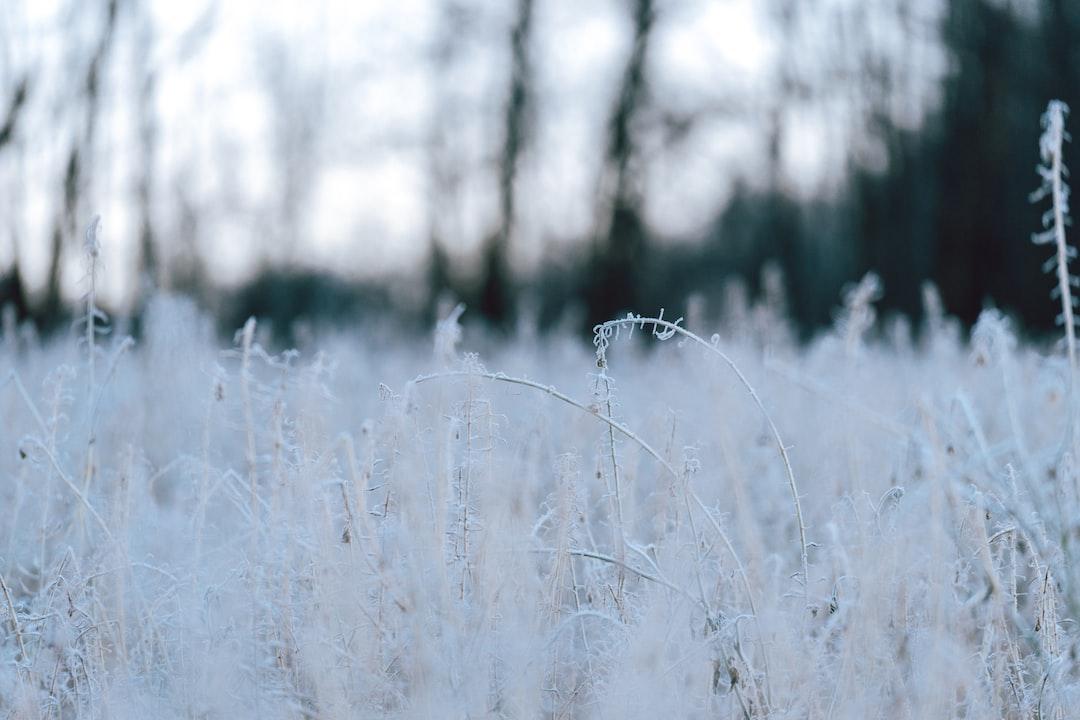 Frozen Field Stalks - unsplash