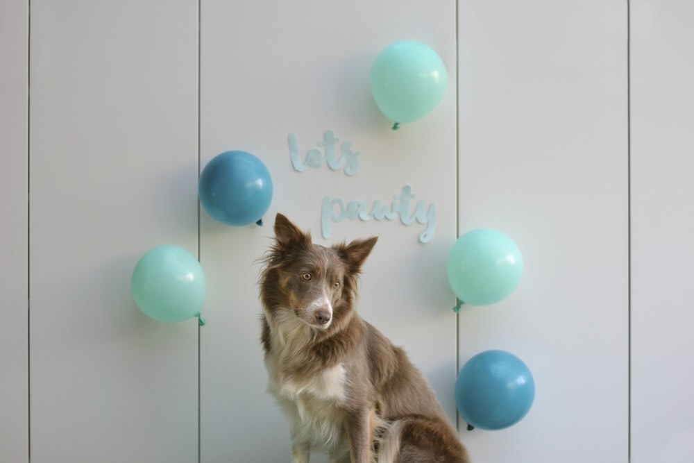 brown and white long coated dog lying on blue balloons