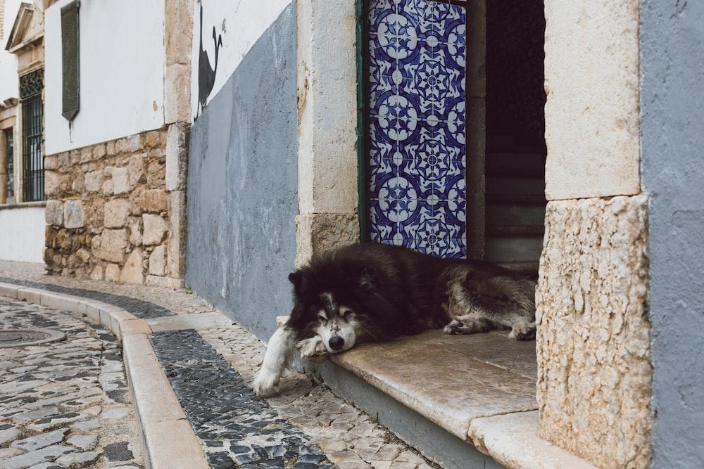black and white long coated dog lying on floor