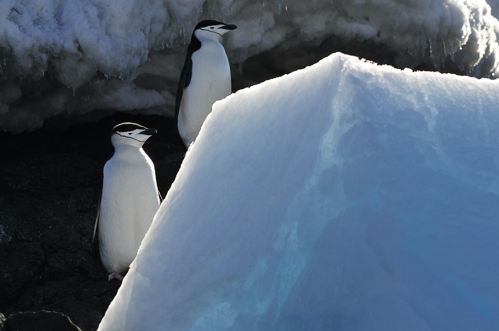 white and black penguin on snow covered ground during daytime