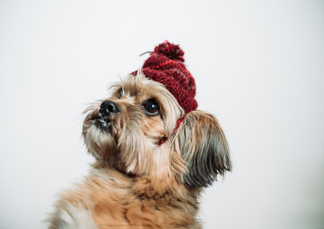 Brown Dog With Red Hat Looking Away - unsplash
