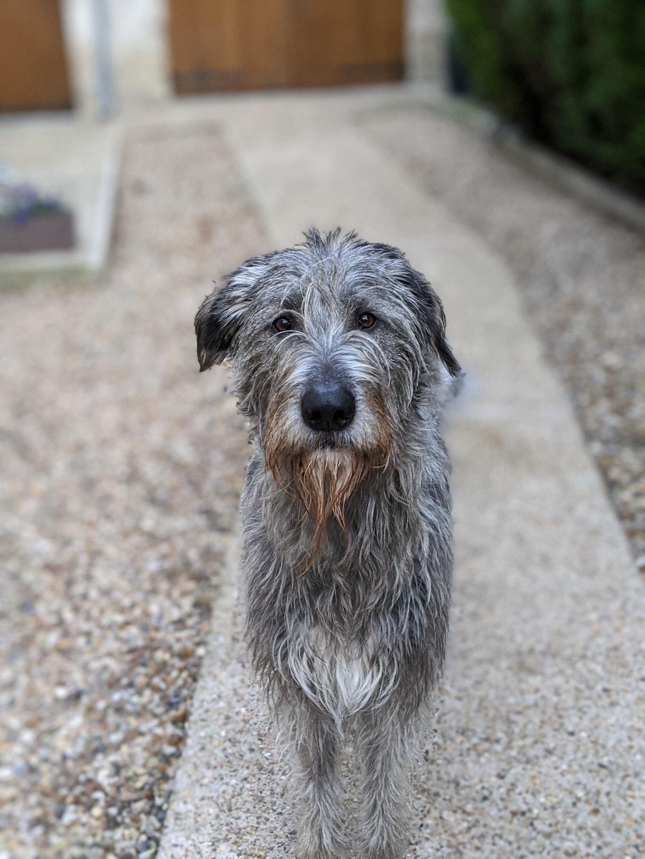 Irish wolfhound dog portrait