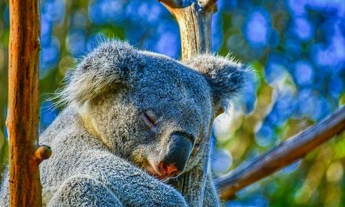 koala pickup line