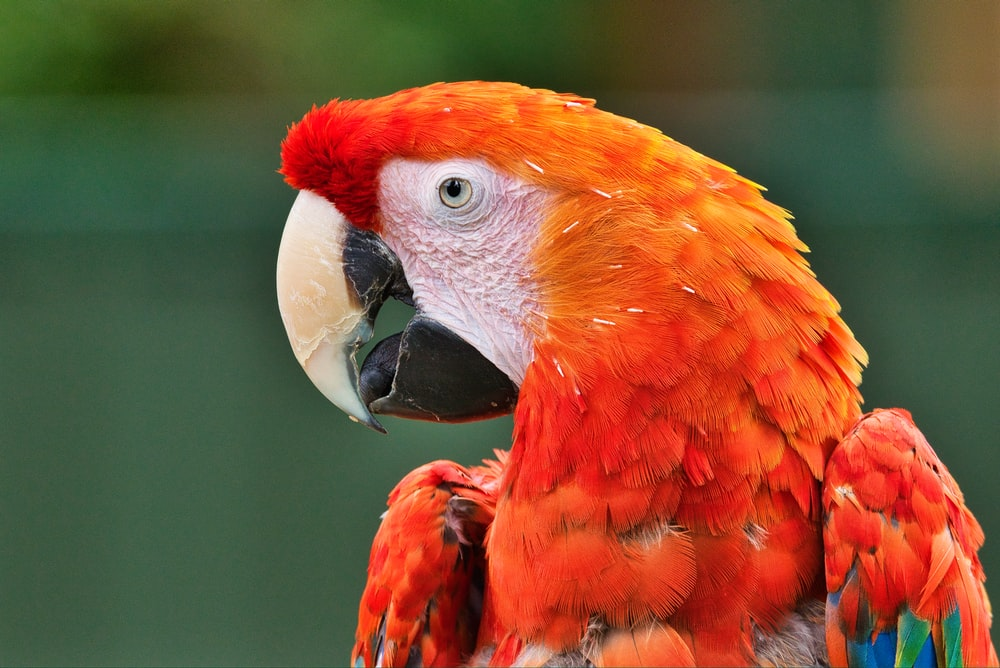 red and yellow bird in close up photography