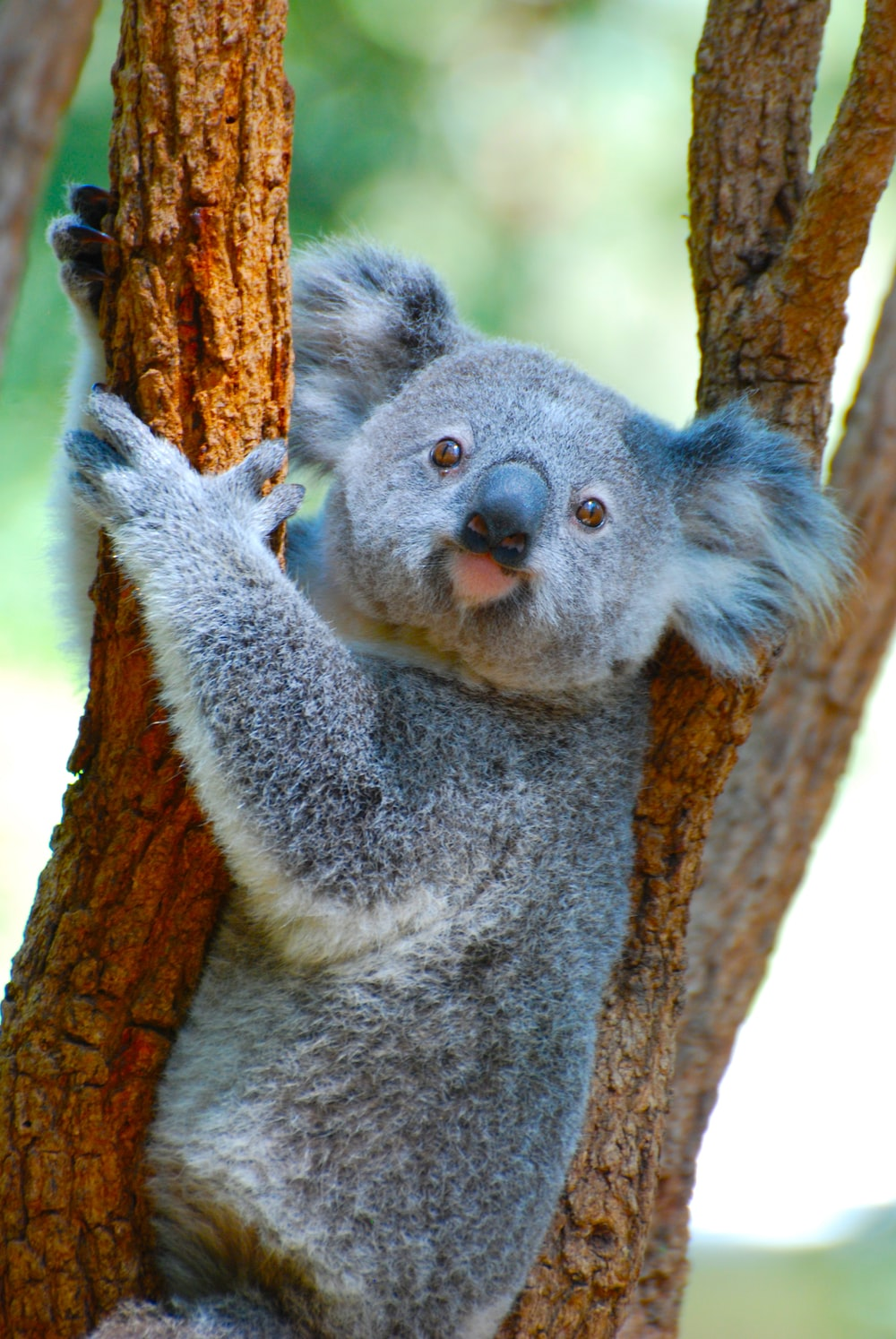 koala bear on brown tree branch