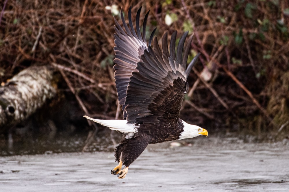 bald eagle flying over brown tree branch during daytime