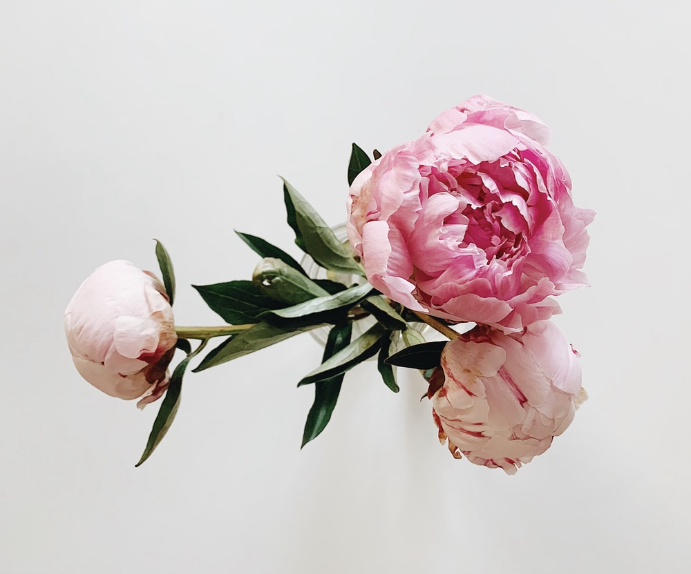pink roses in white background