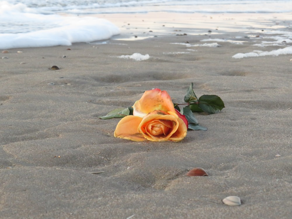 orange and yellow rose on beach shore during daytime