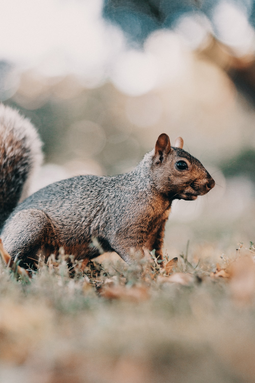 brown squirrel on brown grass during daytime