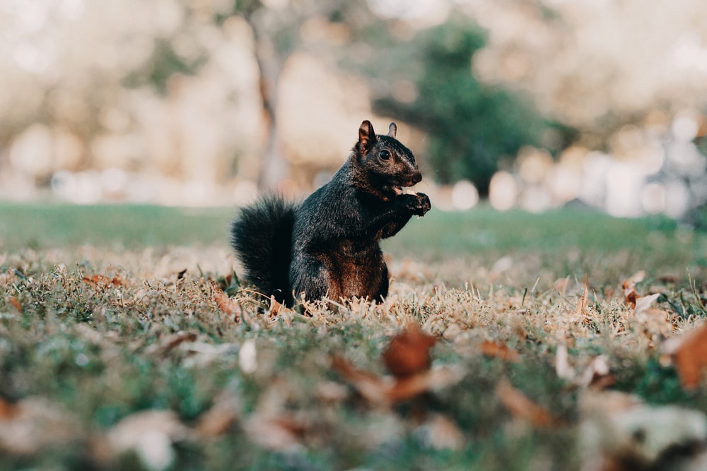 black squirrel on brown grass during daytime