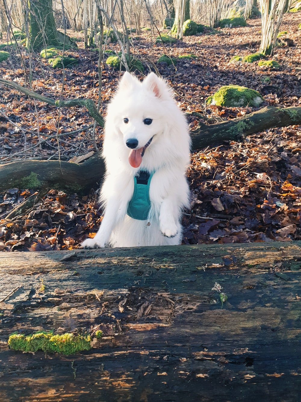 white long coat small dog on brown dried leaves