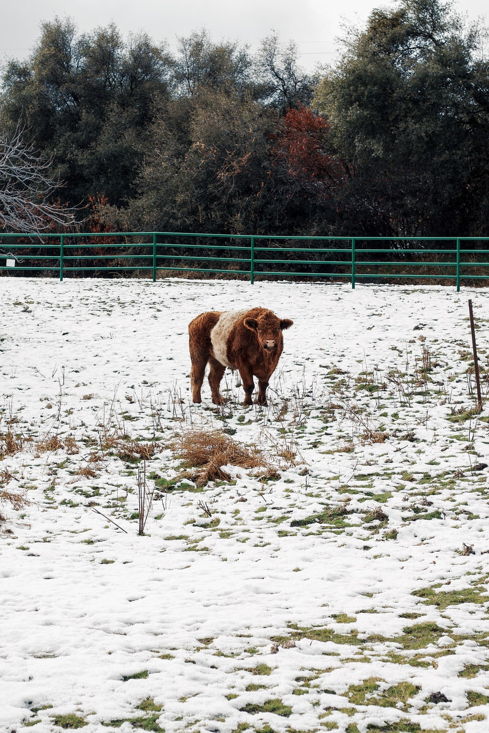 brown cow on white snow field during daytime