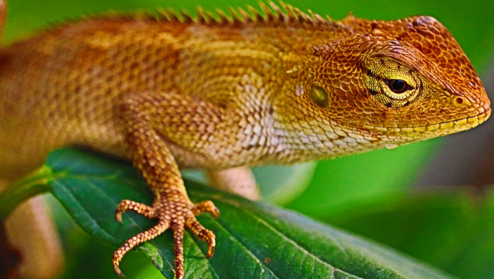brown and white bearded dragon on green leaf