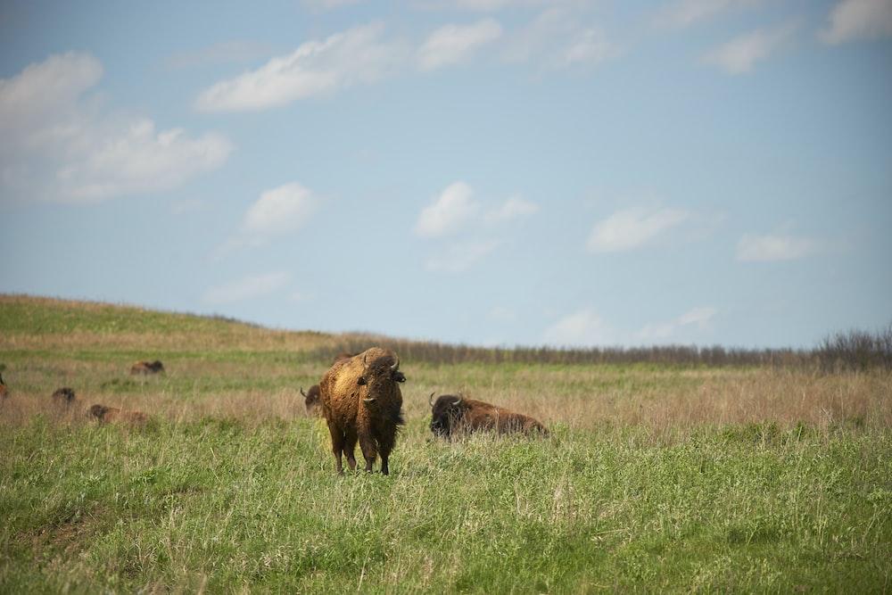 brown bison on green grass field under blue sky during daytime