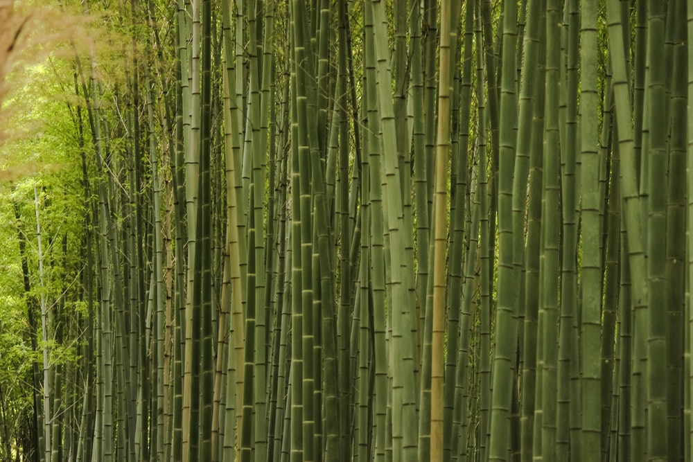 green and brown bamboo trees