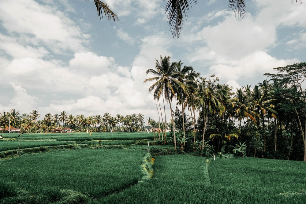 green palm trees on green grass field under white clouds and blue sky during daytime