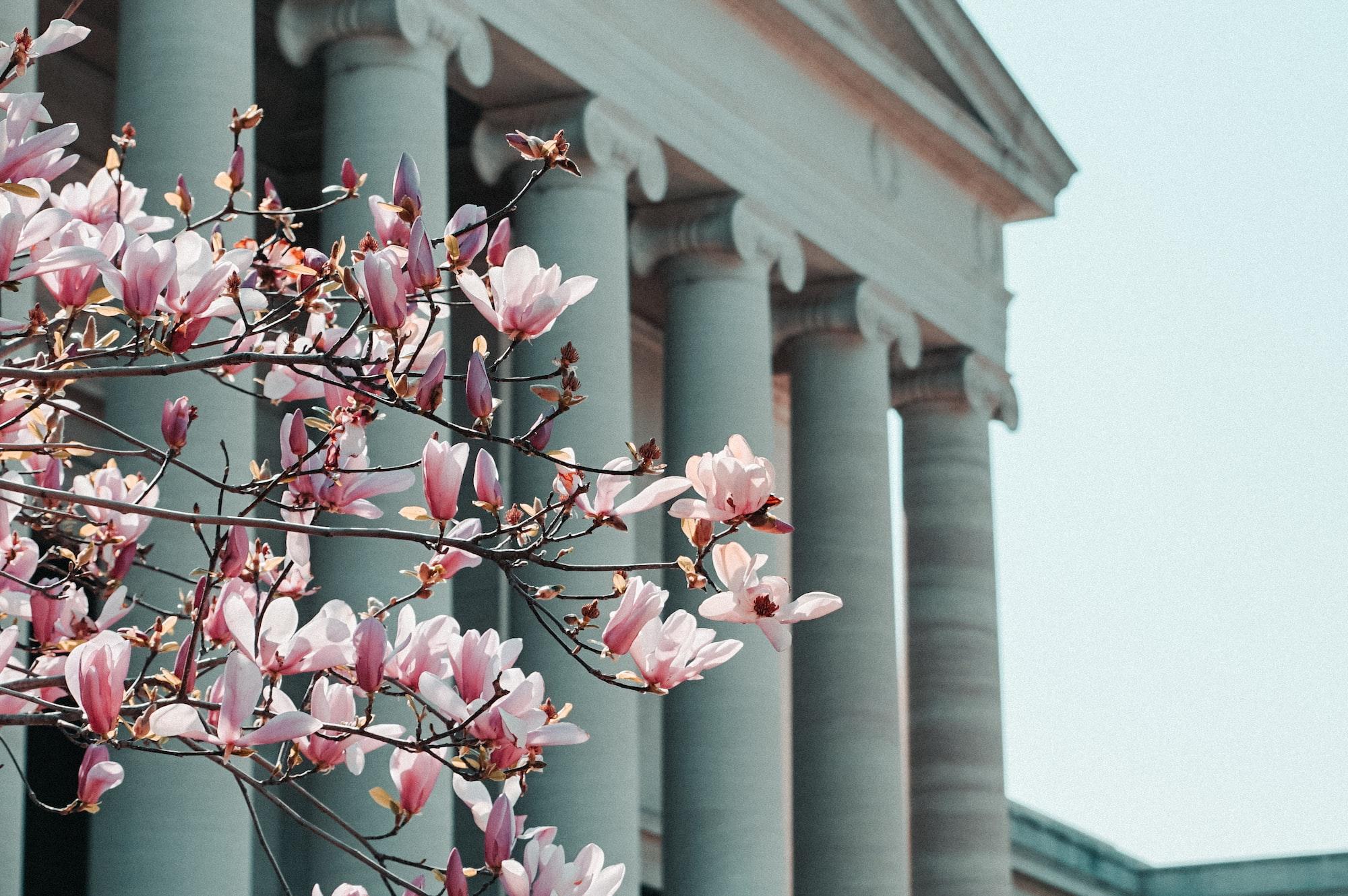 Cherry Blossoms IIWashington DC vacation rental alternatives for the 2021 Cherry Blossom Festival